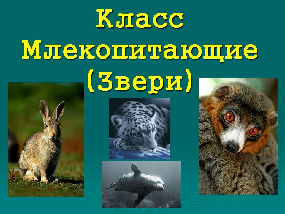Презентация по биологии 7 класса на тему «Млекопитающие»